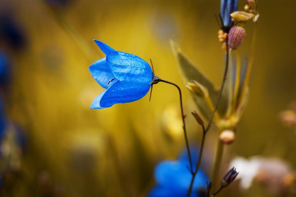 niebieski kwiat w ogrodzie