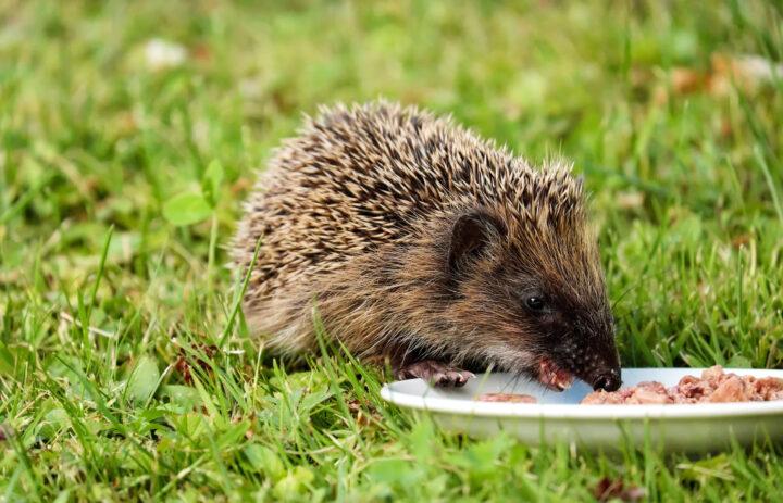 jeż w ogrodzie