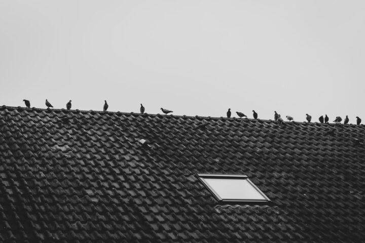 ptak na dachu