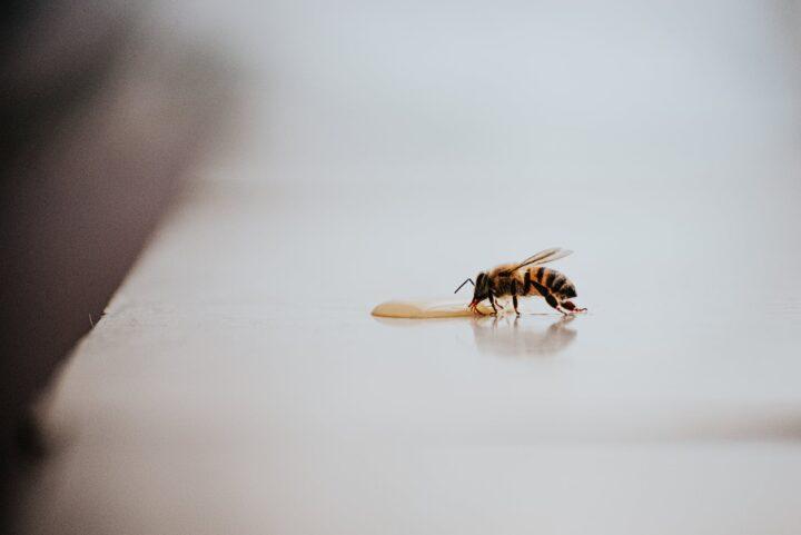 pszczoła w domu